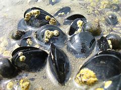 Mussels, unbound